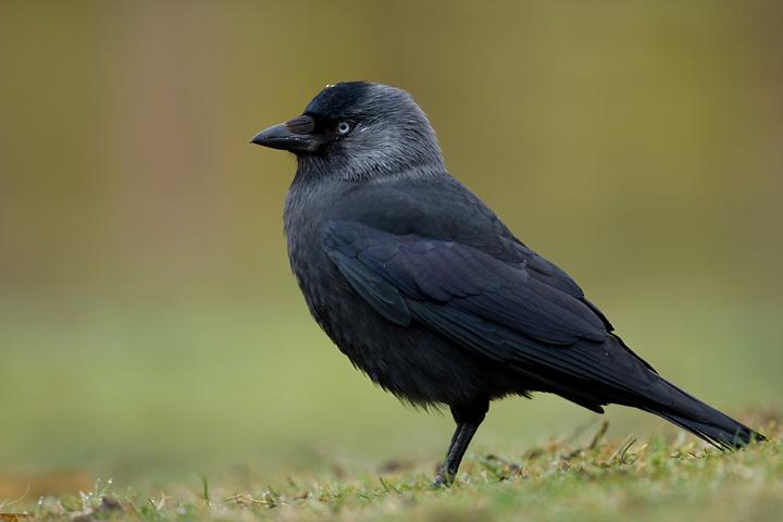 Галка обыкновенная corvus monedula