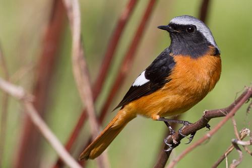 ...Phoenicurus phoenicurus) , птица семейства дроздовых.