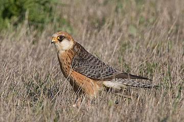 Амурский кобчик (Falco amurensis)