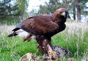 Беркут (Aquila chrysaetus)