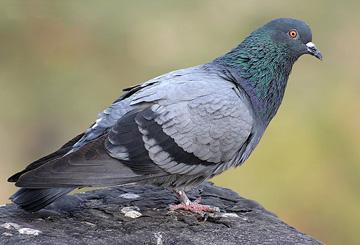 Сизый, или скалистый голубь (Columba livia)