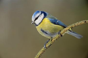 Лазоревка, синяя синица (Parus coeruleus)