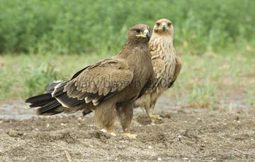 Степной орел (Aquila nipalensis)