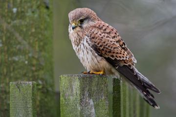 Пустельга обыкновенная (Falco tinnunculus L.)